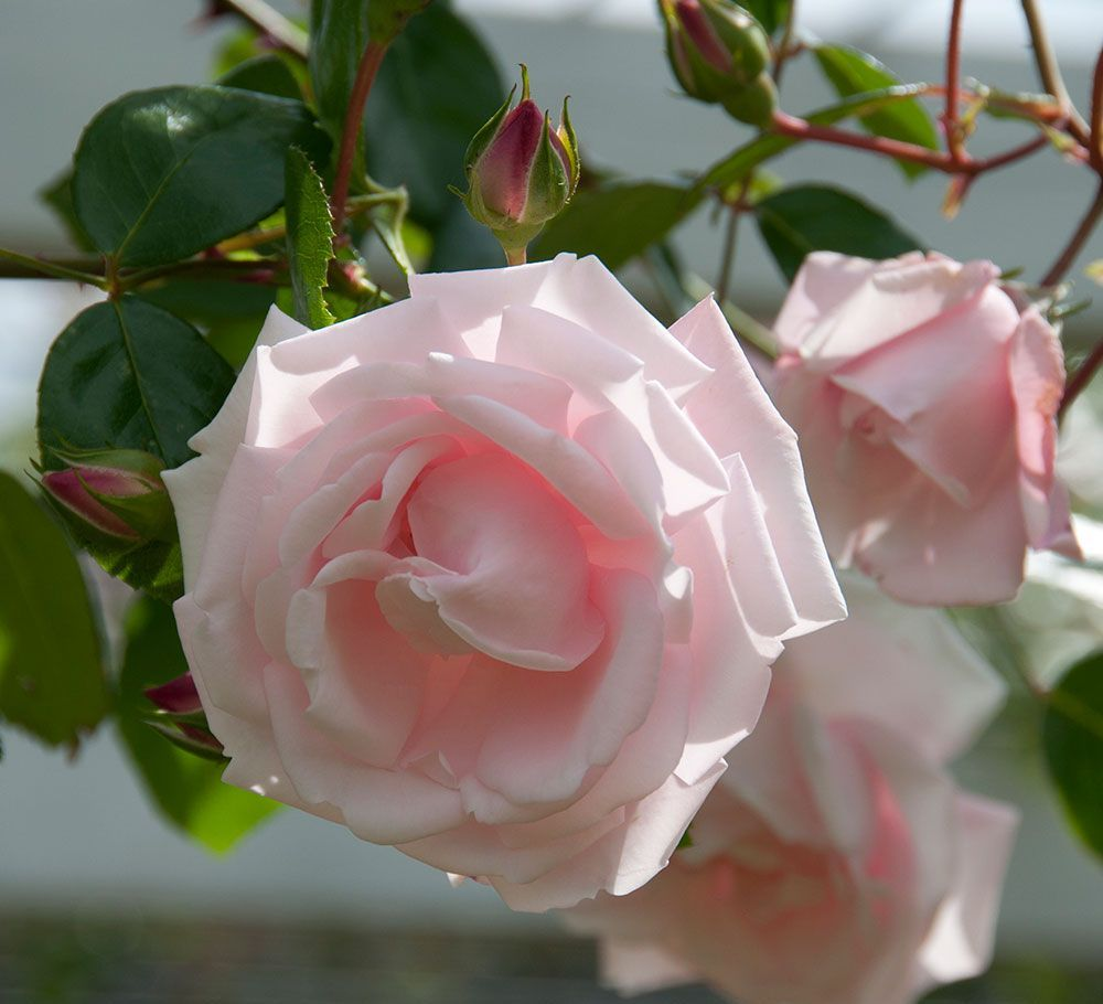 Троянда New Dаwn
