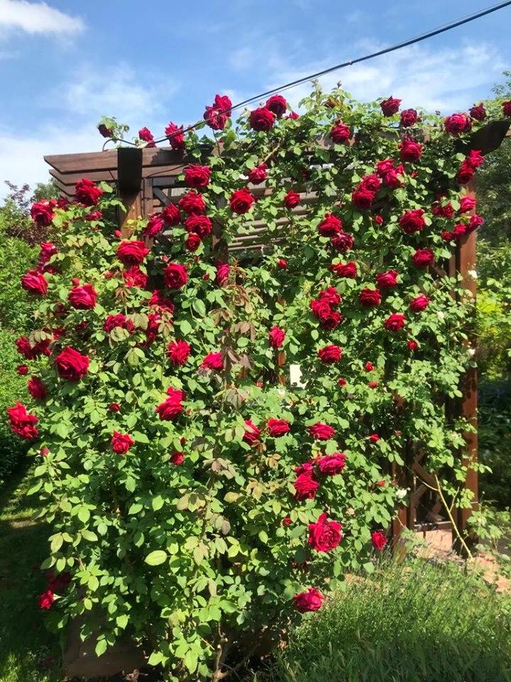 Троянда Red Parfume