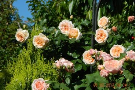 Плетисті троянди клаймбери — виразні акценти саду. На фото троянда Amaretto, Kordes, Німеччина. © Галина Микитинець.