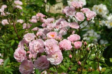 Світ ландшафтних троянд — мускусні гібриди. © Галина Микитинець