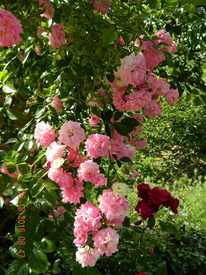 Троянда Dorothy Perkins Jackson&Perkins, США, 1901 (гібрид Wichurana)