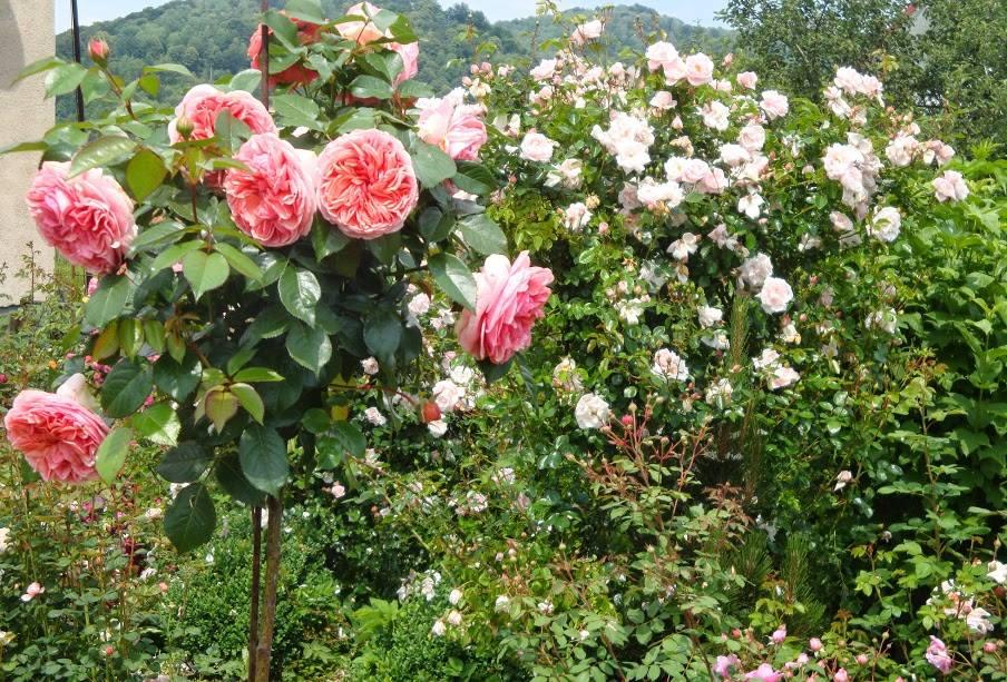 На передньому плані штамбова троянда Chippendale та New Dawn на задньому плані – позначення кордонів за допомогою витких верхолазів