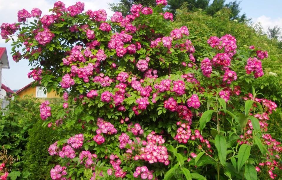 Троянда Perennial Blue, Mehring, Великобританія, 2003 разом з мускусним гібридом Mozart, Lambert, 1937 (нижній ярус композиції), цю композицію видно з будь-якої точки саду