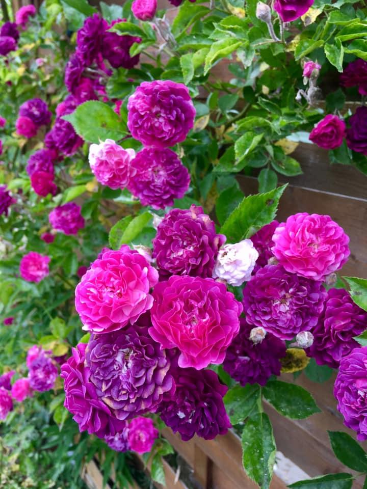 Троянда Blue Magenta