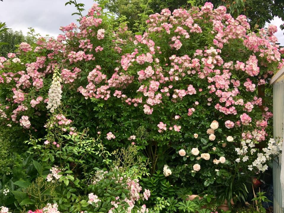 Троянда Apple Blossom з наперстянками, дзвониками та мускусною трояндою Ballerina на нижньому ярусі