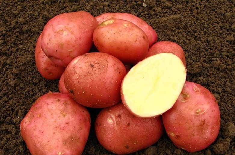 Картопля «Беллароза» (BELLAROSA, «БЕЛА РОСА»)