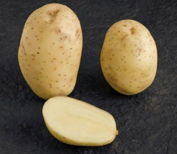 Картопля «Мелоді»