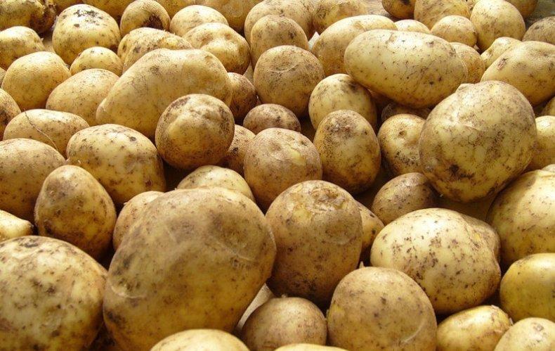 Картопля «Санте» (Sante)