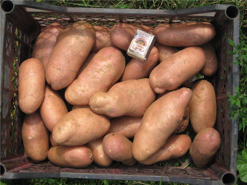 Картопля «Американка», або «Рання троянда» (Earle Rose)