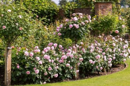 Англійські троянди — найкращі сорти, поради щодо догляду і використання