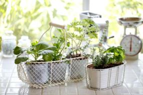 Духмяні трави вдома — 40 ідей з фото
