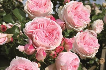 Сорти ностальгічних плетистих троянд клаймберів від Тантау та Дельбара. © rosen-tantau