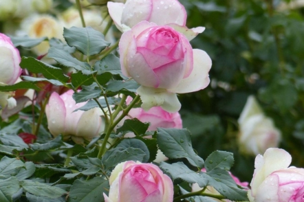 Романтичні сорти клаймберів — троянди Pierre de Ronsard. © promessedefleurs
