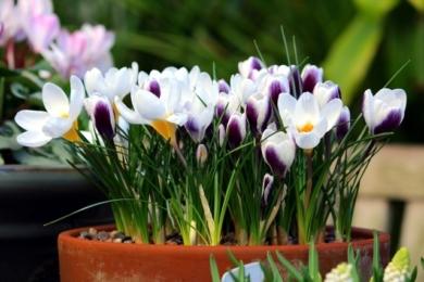 Весняні цибулинні в горщиках