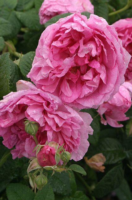 Гальська троянда Imperatrice Josephine, Jacques-Louis Descemet, Франція, до 1815 г.