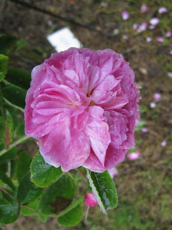 Бенгальська троянда NAPOLEON, Жан Лаффай, Франція