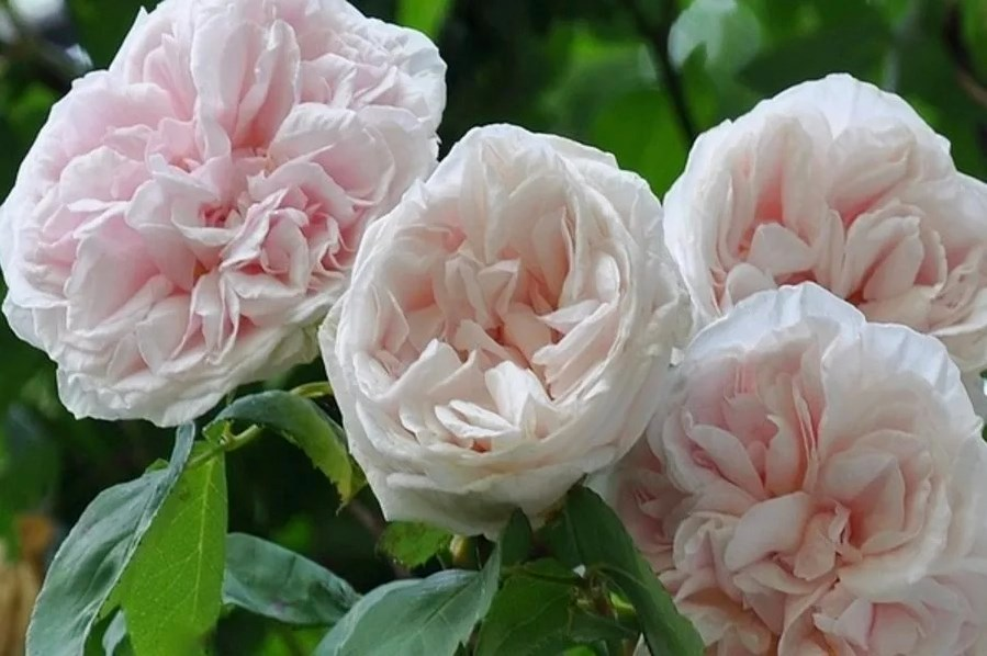 Souvenir de la Malmaison, Beluze, Франція, 1843, бурбонська троянда. Друга назва - Queen of Beauty аnd Fragrance («Королева краси та аромату»). Має чотири спорти (природні мутації): чисто білий, темно-рожевий, напівмахрову форму квітки і плетистий сорт