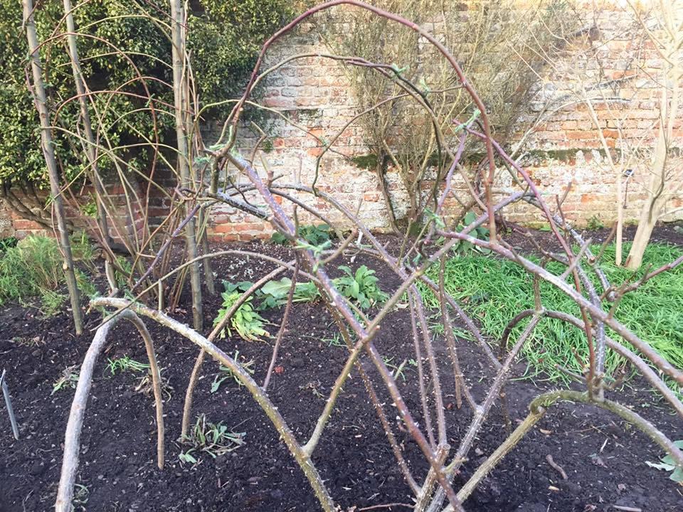 На передньому плані до дуг з ліщини прив'язані вкорочені гілки троянди, на задньому плані сформована висока троянда, пагони якої «закручені» біля чотирьох тримачів