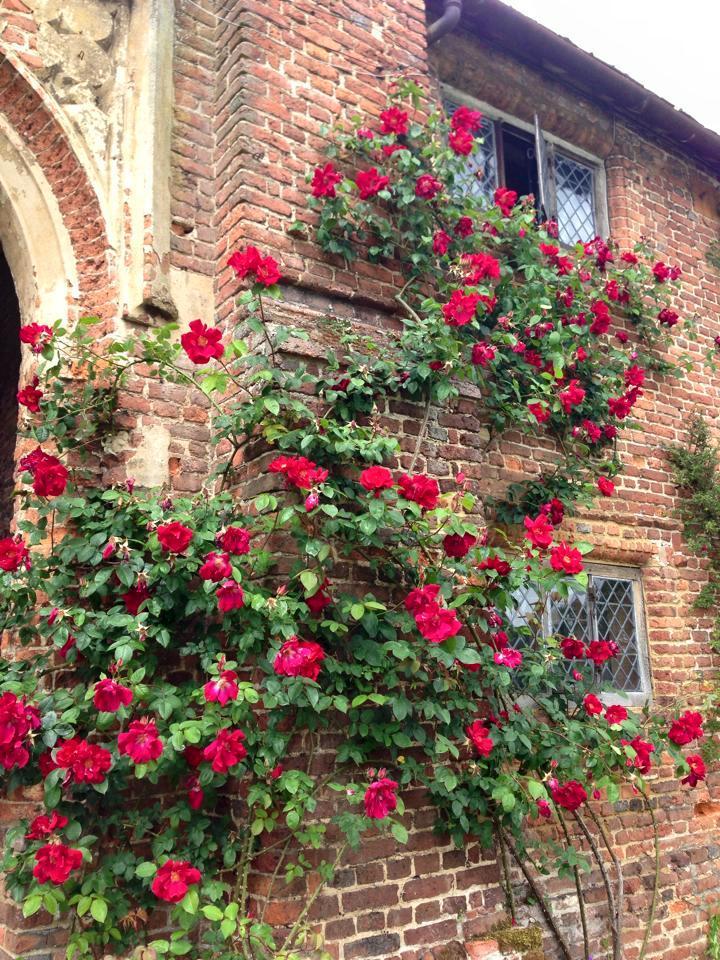 Формування плетистих троянд за методом замку Сісінгхерст