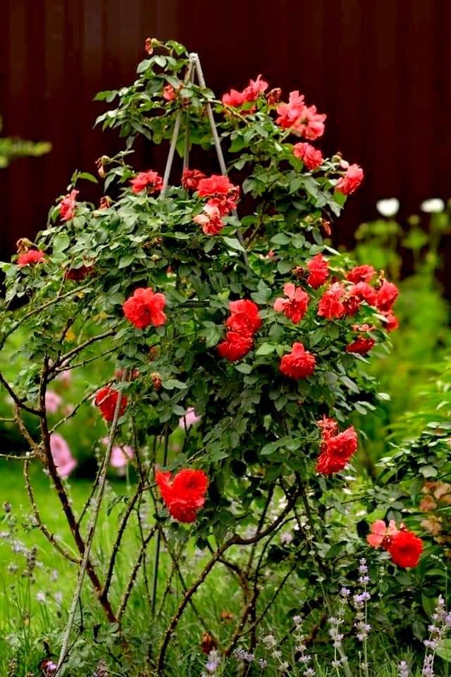 Rosarium Uetersen — приклад естетичного оформлення і пишного цвітіння троянди