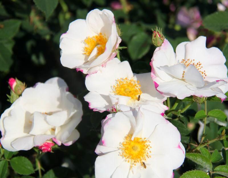 Троянда Аlba Semi-plena, інтродукція невідома троянда Альба, знайдена до 1626 р.