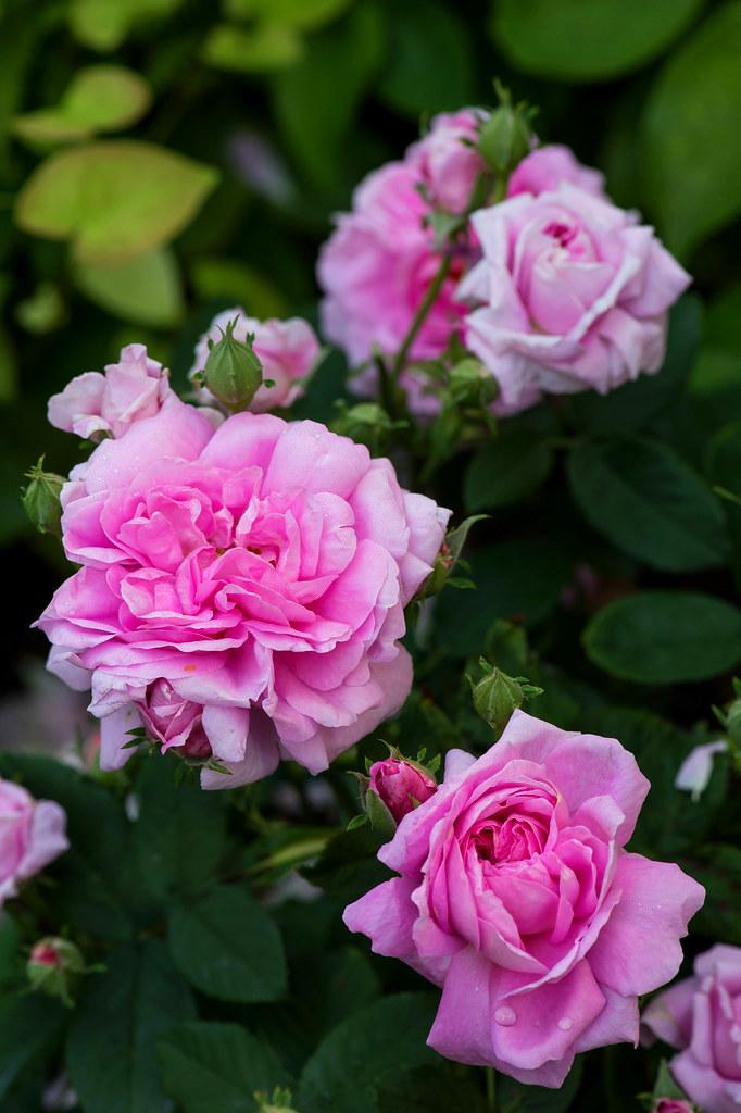 Дамаська троянда Ispahan, невідомої інтродукції, до 1827