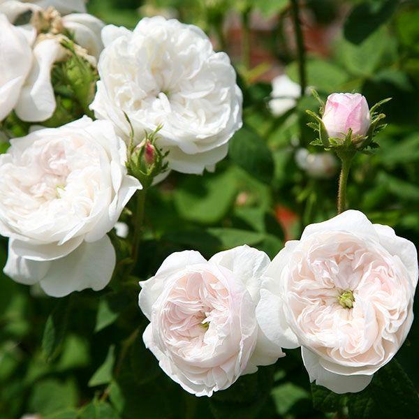 Троянда Madame Hardy, Hardy, Франція, 1832