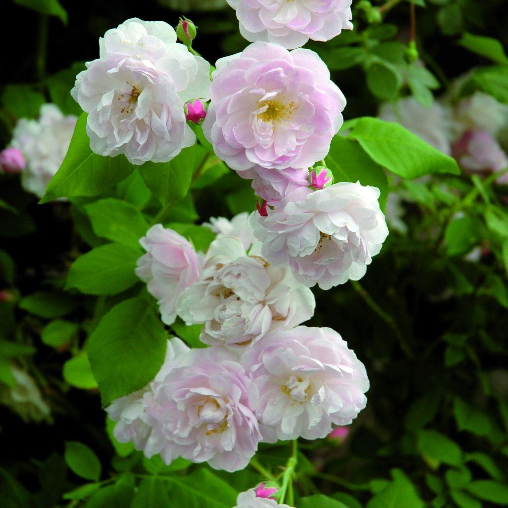 Нуазетова троянда Blush Noisette, Noisette, США, 1814