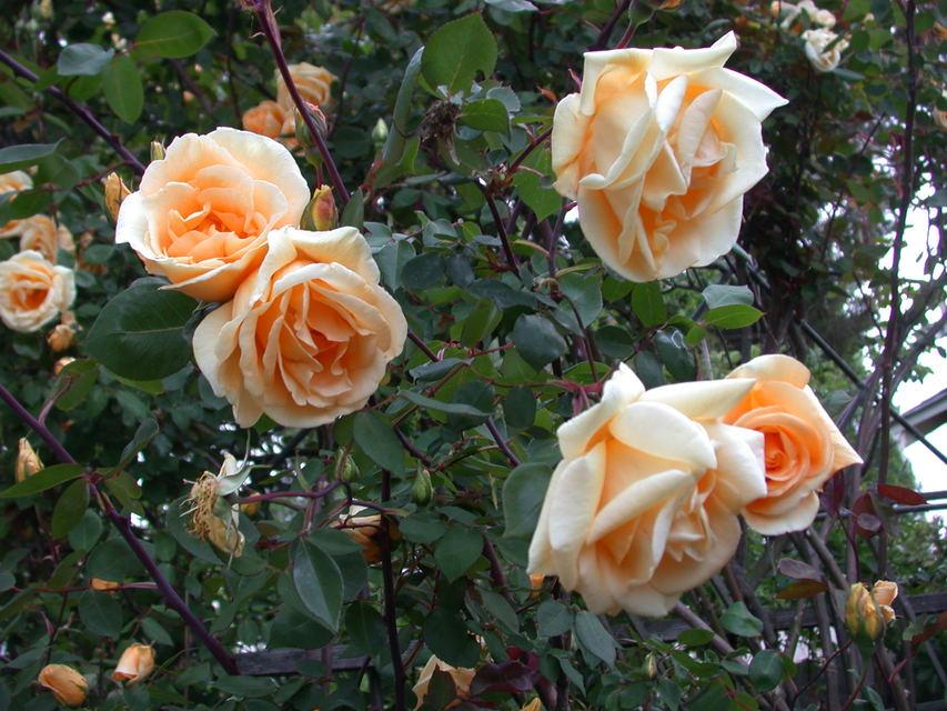Чайна троянда Lady Hillingdon, Lowe&Shawyr, Великобританія, 1910