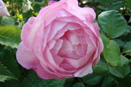 Троянди спадщини — стародавні, або старовинні садові