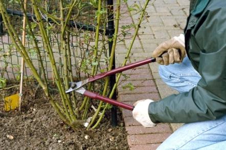 Весняне обрізування та формування троянд різних садових груп