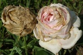 Хвороби троянд і методи боротьби з ними