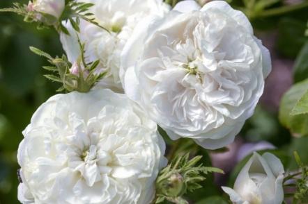 Білі сорти старовинних троянд, доступні в Україні. © David Austin Roses
