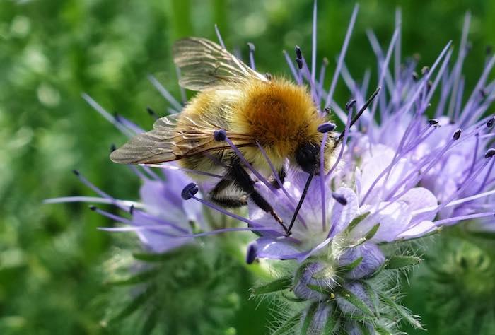 Бджоли «пасуться» на фацелії з ранку до ночі, з ранньої весни до пізньої осені