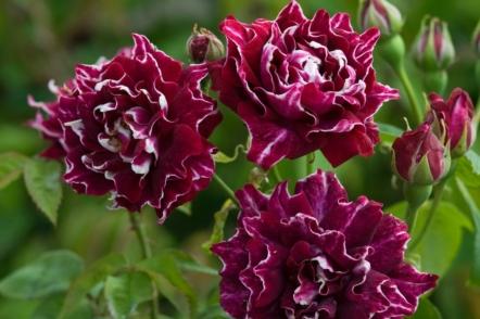 Старовинні троянди з квітами бордового кольору, доступні в Україні. © davidaustinroses