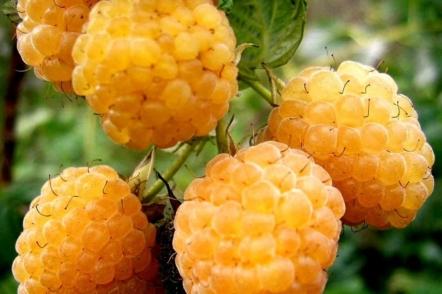 5 переваг жовтої малини і її найкращі сорти