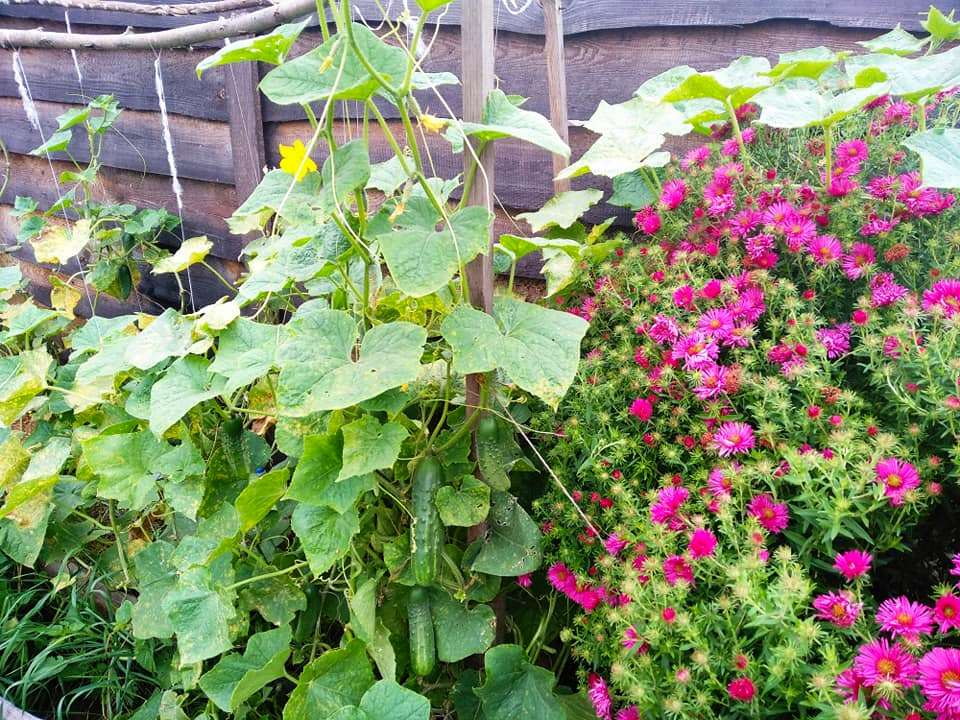 Мої огірки на високій грядці 15 вересня. Листя жовте, але при цьому вони родять огірочки!