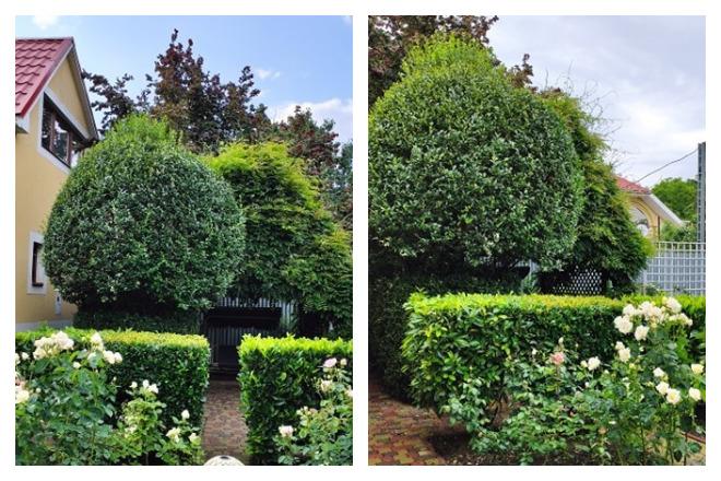 Зелена загорожа з лавровишні відділяє розарій від альтанки. Дерево-куля з бірючини, позаду альтанка з вістерією, яка ще не цвіла жодного разу. Вигляд з розарію