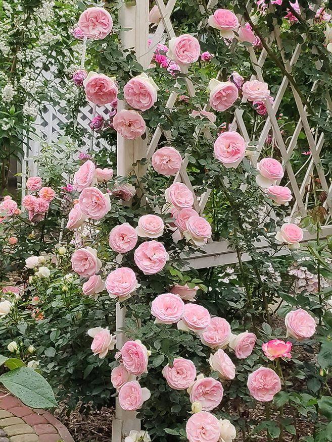 Душа саду - ідеальний Pierre de Ronsard (Меілланд, Франція, 1987 р.)