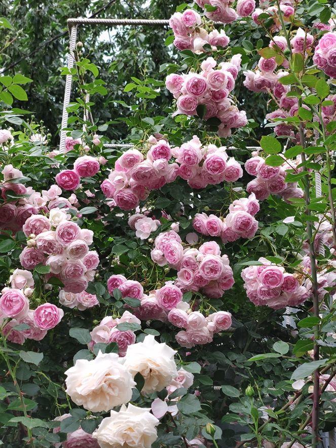 Троянда Jasmina, Kordes, Німеччина, 2005 «Саджанцю вже років 10, цвіте пишно в першу хвилю, потім вже не так багато квітів, їй потрібна хороша опора»