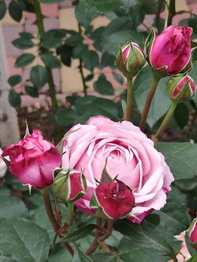 Щедрий на цвітіння і нереальної краси квіти сорт троянди DIETER MULLER, Delbard, Франція, 2004