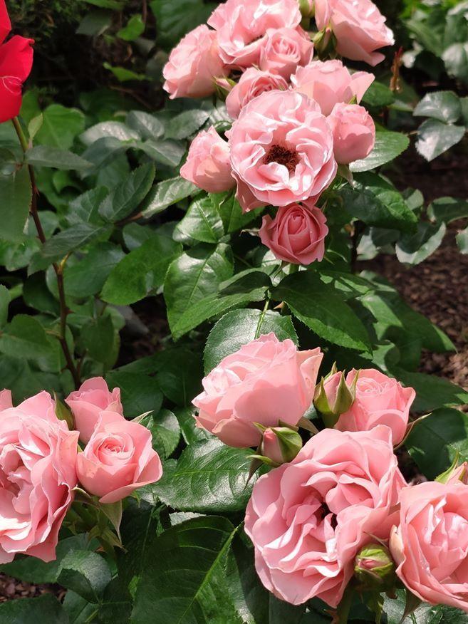 Троянда Bouquet de Mariee, Frédéric Damaizin, Франція, 1858 — такого помадного кольору…