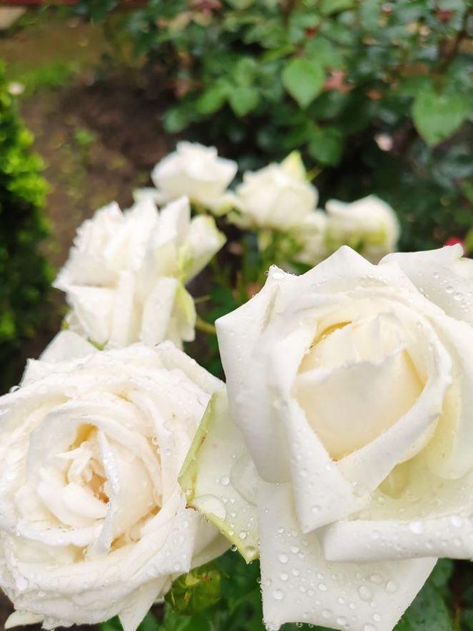 Сучасна троянда групи грандіфлора Madame Anisette