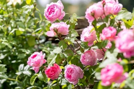 Помилуватися і з'їсти — троянди для варення та іншого використання на кухні