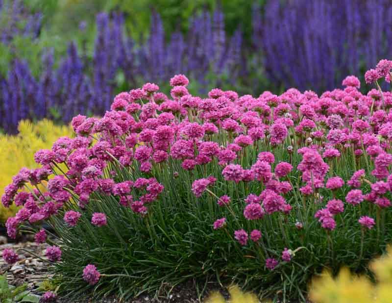Армерія приморська (Armeria maritima)