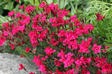 9 багаторічників, які цвітуть все літо