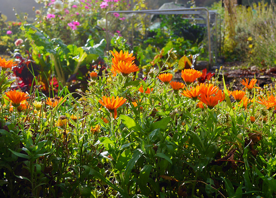 По-перше, календула на городі - це красиво...