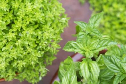 Базилік в саду і на підвіконні — смачний, корисний і красивий