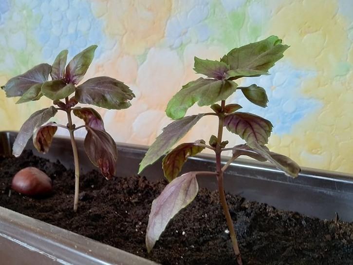 Мій магазинний базилік через три тижні після покупки. погодьтеся, такий базилік з насіння за три тижні не виросте