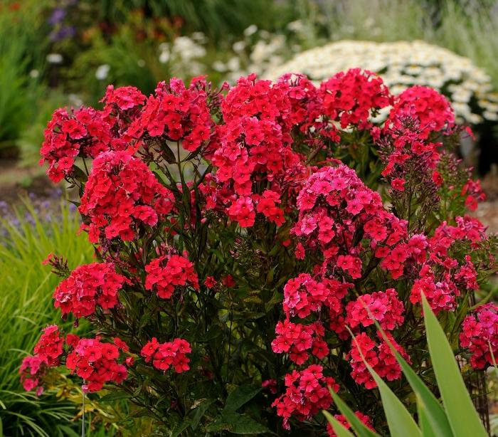 Кущові флокси не даремно вважають рослинами, за якими легко доглядати, та приділяти їм увагу все ж таки доведеться